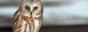 saw-whet-owl-eye-injury