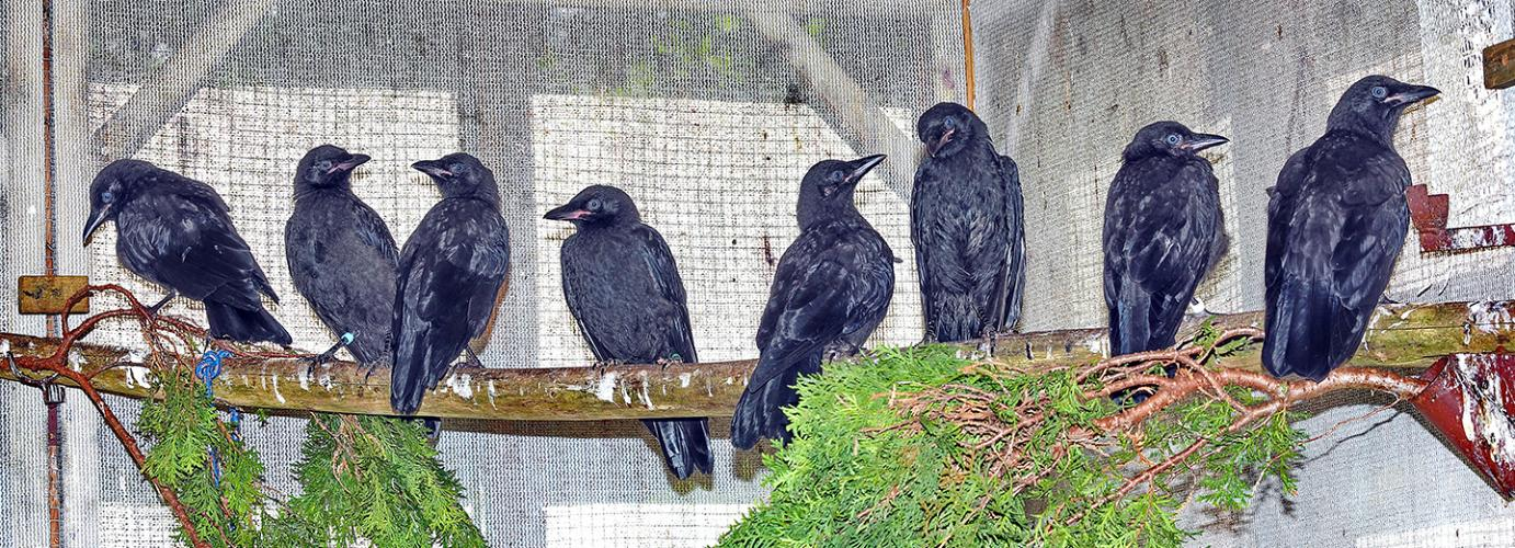How-to: Tell if a Fledgling Crow Needs Help
