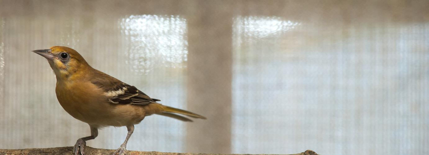 Bullock's Oriole: From Nearly Frozen to Death to Living a New Life in the West