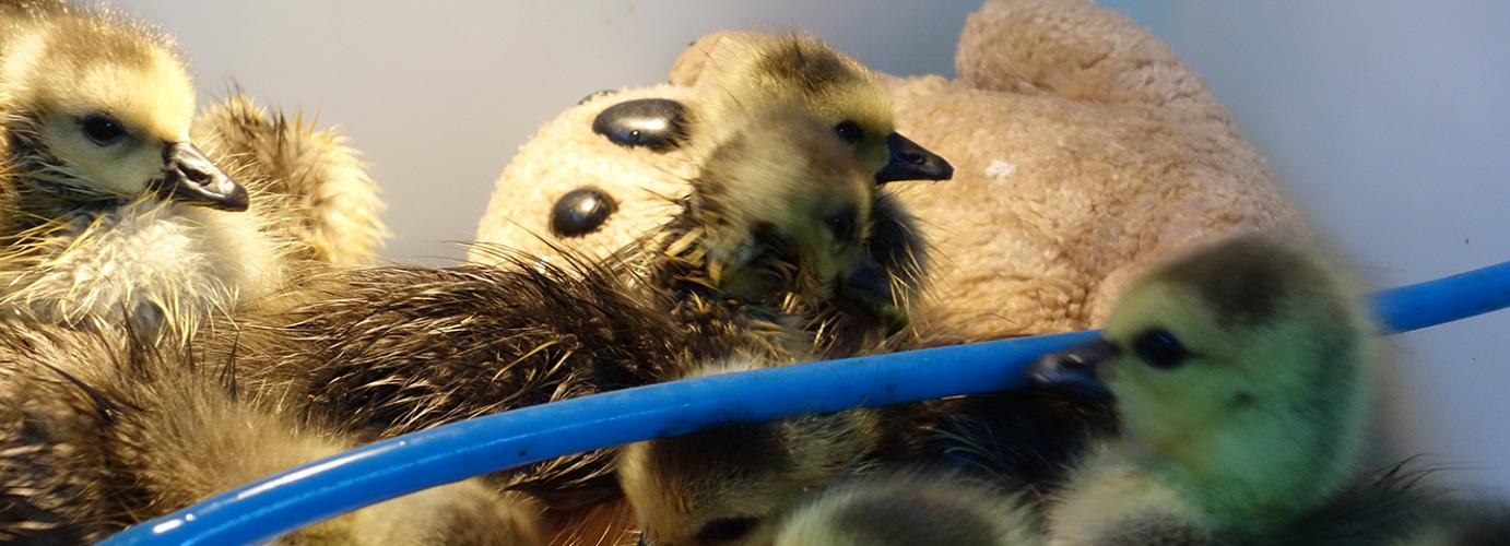 Gosling Rescue Caught On Camera!