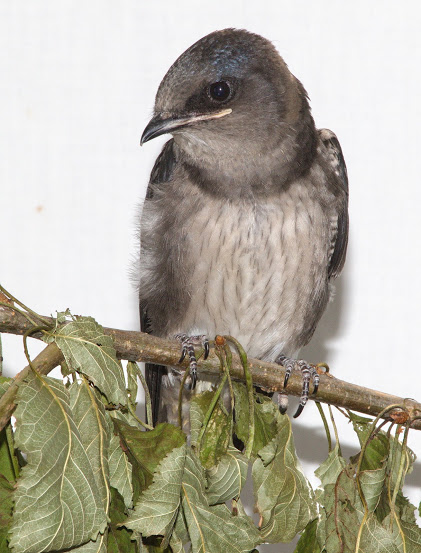 Wildlife Rescue Provides Care & Releases an Orphaned Purple Martin