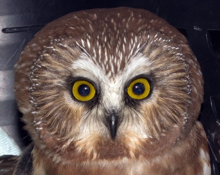 Have you seen the Northern Saw-whet Owl?