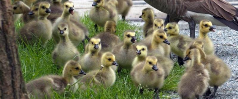 Canada Goose Nesting Season FAQ