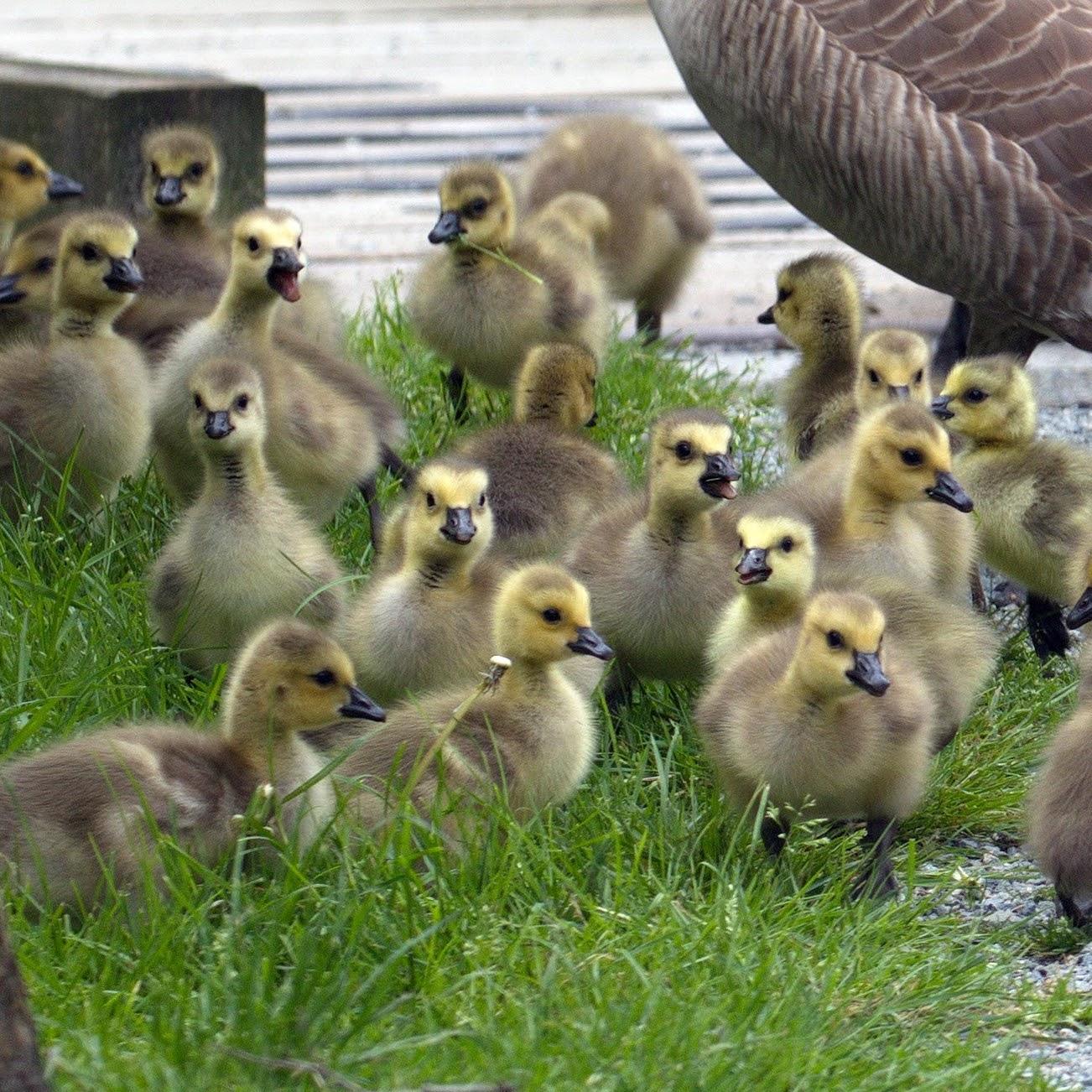 Goose Nesting Season
