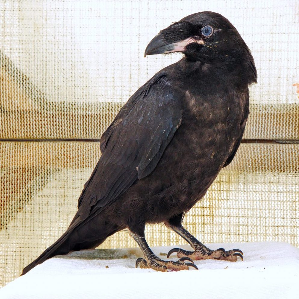 Fledgling Raven Reunited with Family